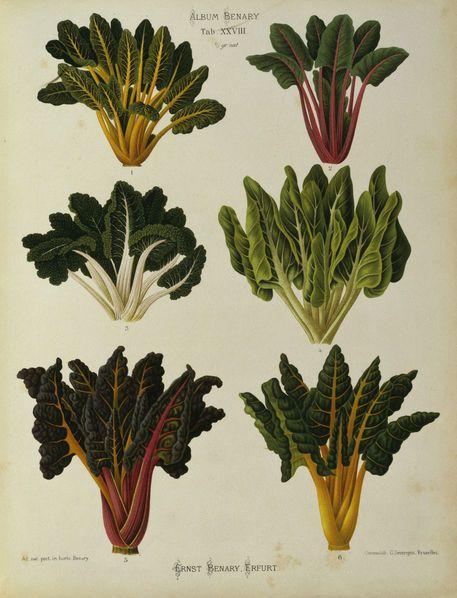 Mangold. Familj Amaranthaceae.