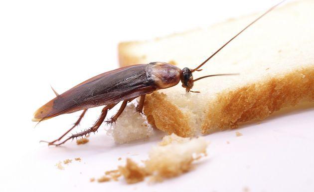 Como Acabar Con La Plaga De Cucarachas Chiquitas Como Eliminar Las Cucarachas En El Hogar Repelente De Cucarachas