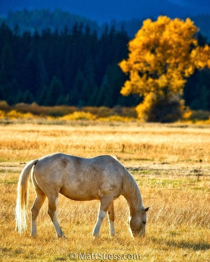 Grazing Horse at Grand Teton National Park, Instagram post date: 04-11-2017 - With storm clouds building above the Teton range at @grandtetonnps in the afternoon, I was able to photograph this grazing horse with some wonderful backlight with the sun shining through an opening in the clouds. The sun was only lighting up the field, which provided me with some great color contrast to work with. . . #mattsuessphoto #celebrationoffineart #landscape_lover #ultimate_nature #natureph