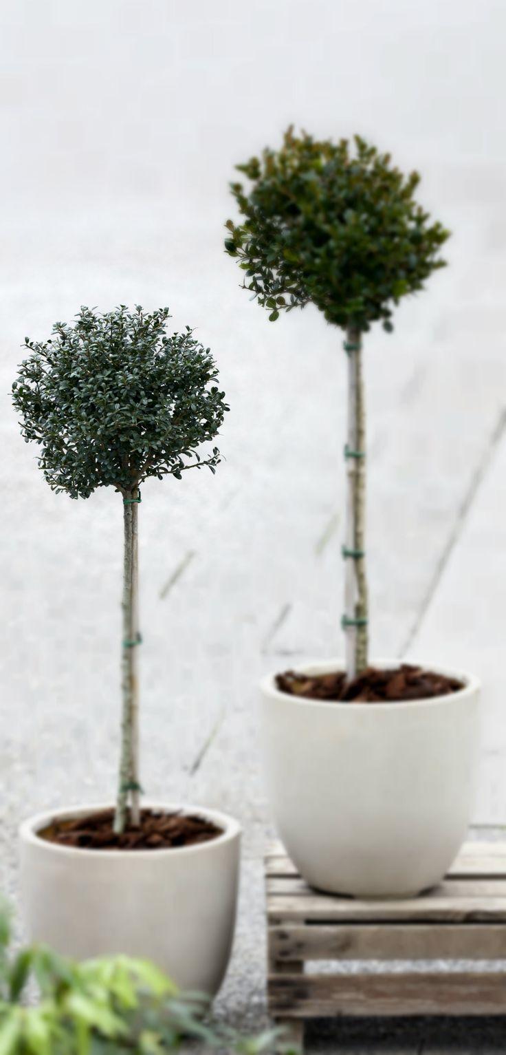 """Opstammet buksbom er elegante og meget velegnede til krukkehaven. #krukkehave #buksbom #opstammetbuksbom #buxus #boxtree #prunedboxtree #prunedbuxus """"plantorama"""
