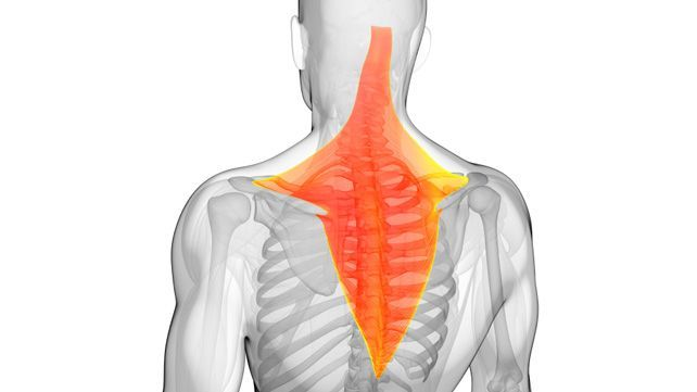 The trapezius works to stabilize the shoulders and the upper back. It's important to keep the trapezius strong to maintain good posture and avoid back pain.
