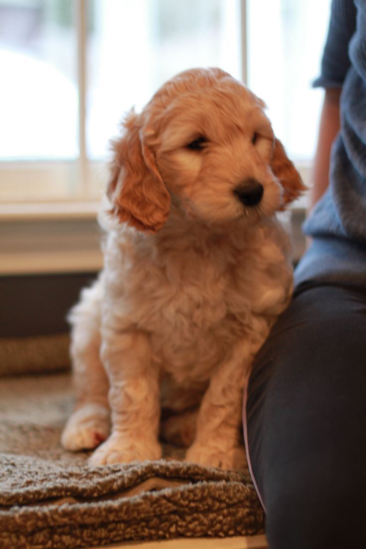 Pretty girl, Mabel, the goldendoodle puppy from River