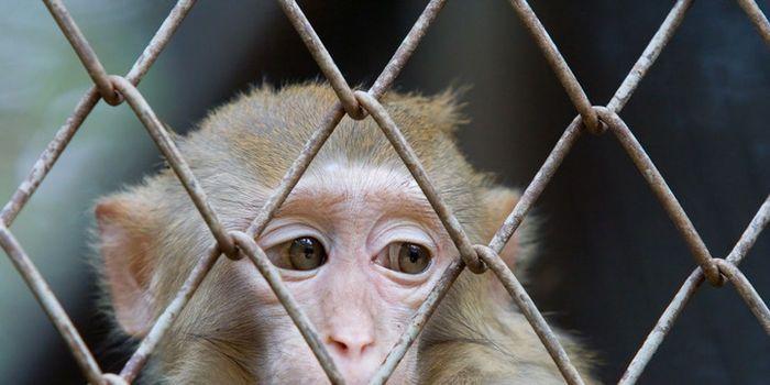 Vietnam Airlines: Arrêter expédition des singes à leur perte.     Imaginez être déchiré loin de votre famille, jeté dans une petite caisse en bois et expédiés en fret des milliers de miles à un destin inconnu.