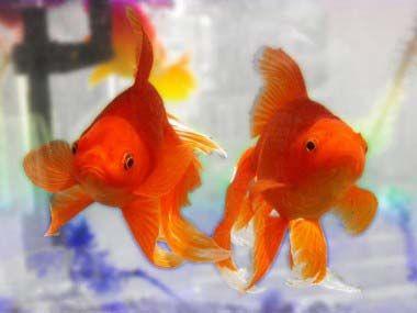 goldfish-feng-shui.jpg (380×285)