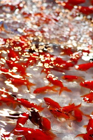 Kingyo-Sukui (goldfish scooping) is the classic play of the Japanese summer festival