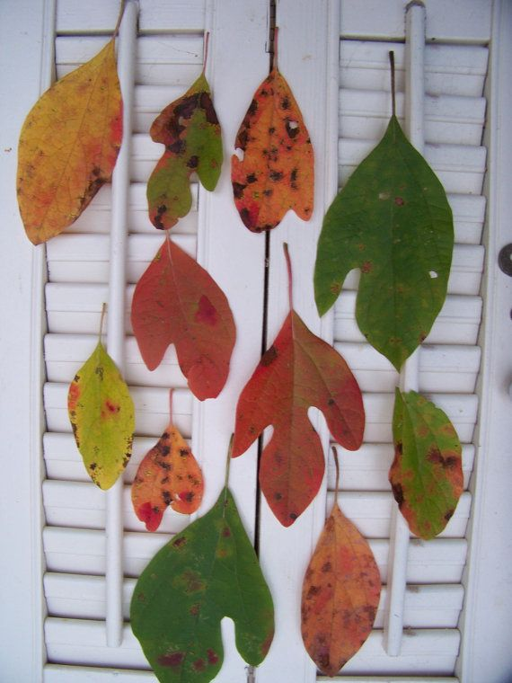 Sassafras Tree Leaves Photograph Picture Dried Variety of  Colors Unusual Three Leaves OOAK