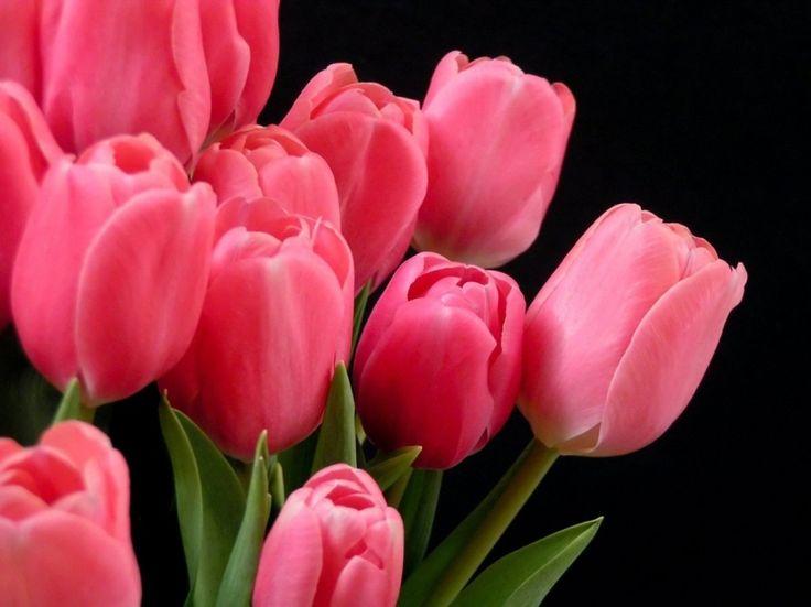 Fotos de flores tulipanes 8