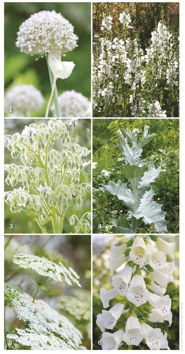 4 White garden flower choices high summer performers