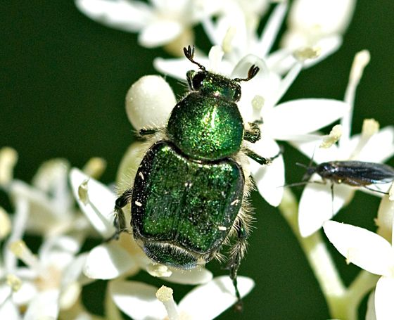 Best Cetoniinae Images On Pinterest Beetles Animals And Insects - Oklahoma location in usa