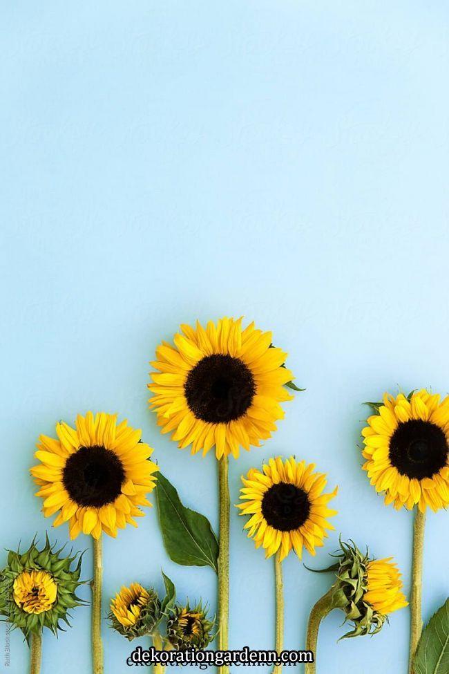 ジュエリー ジュエリー Sunflower Iphone Wallpaper Sunflower Wallpaper Black Wallpaper Iphone