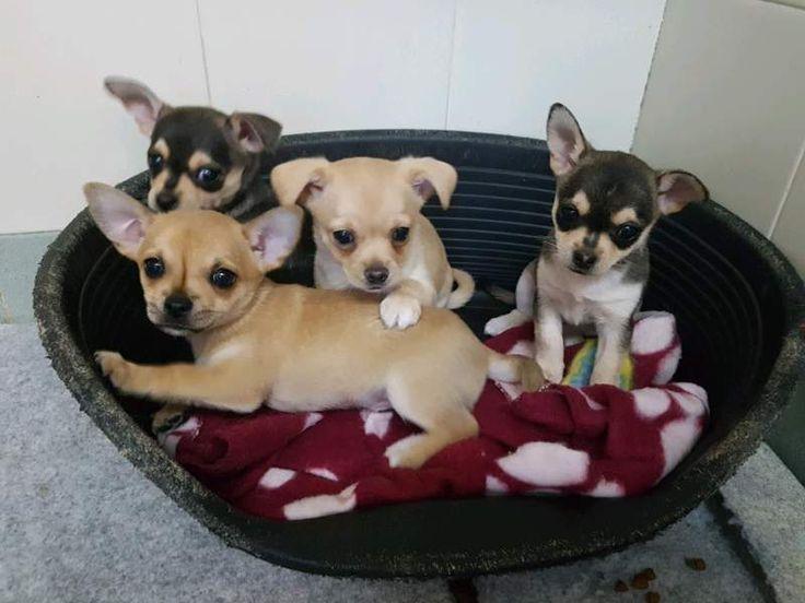 Chihuahua cuccioli