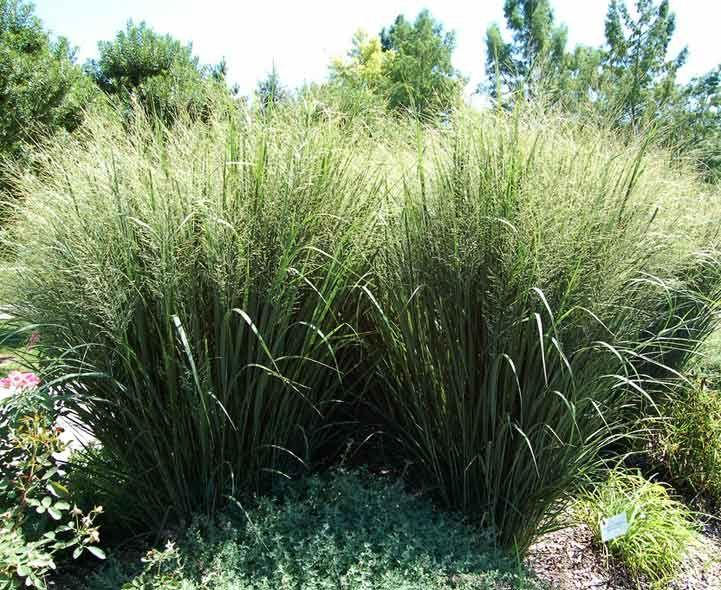 98 best backyard ideas images on pinterest delosperma for Ornamental grass ideas