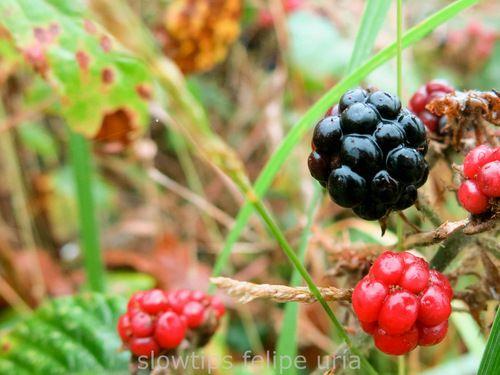 Blackberry Mora