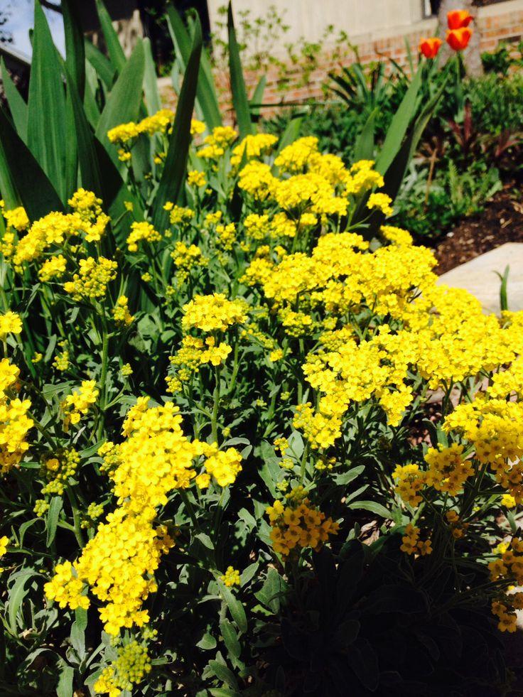 Allysum Saxatile Cottage garden, Plants, Garden