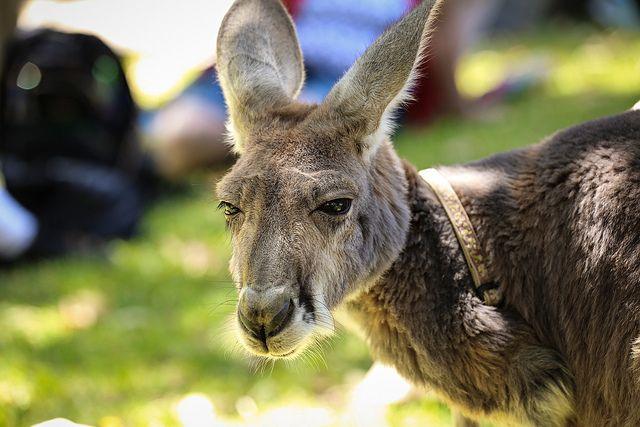 how to get a pet kangaroo