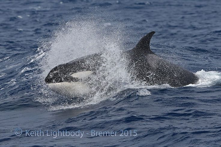 Killer Whales at Bremer Canyon in Western Australia