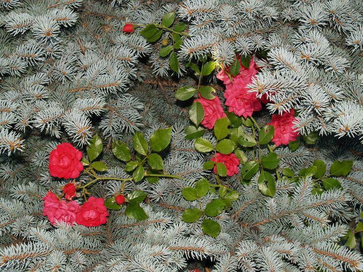Punainen ruusu ja hopeakuusi