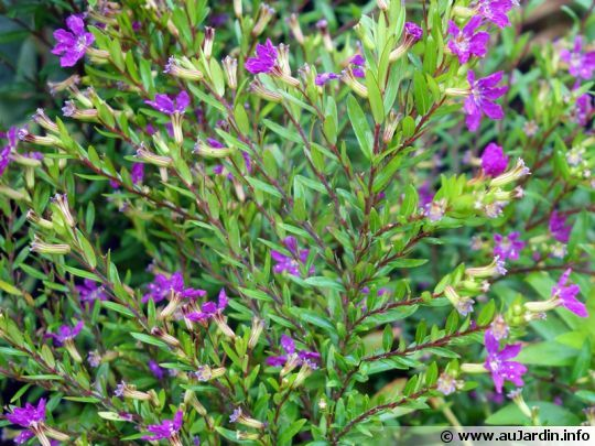 Fausse bruyère, Étoile du Mexique, Bruyère mexicaine, Cuphea hyssopifolia
