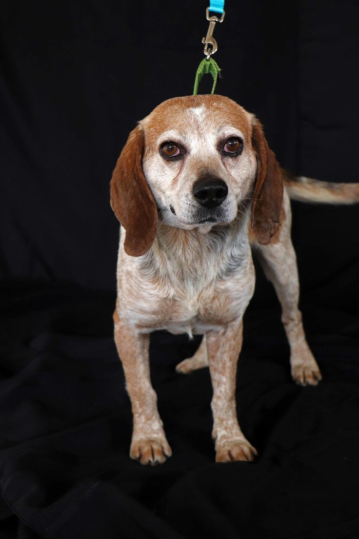 Old Blue is an adoptable beagle searching for a forever family near New Rochelle, NY. Use Petfinder to find adoptable pets in your area.