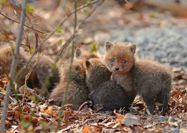 A father and his daughter, from New Jersey had a great surprise to find a baby foxes litter in their garden. The father, Philip, immediately photographed them and explored their living environment.