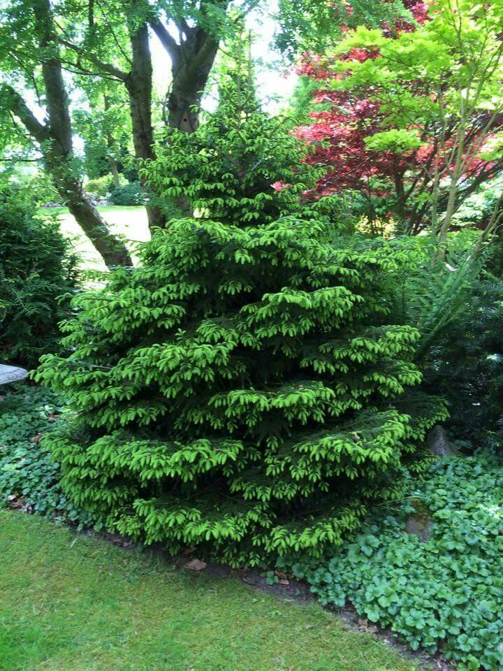 79 Best Images About Conifers And Shrubs I Like On 400 x 300
