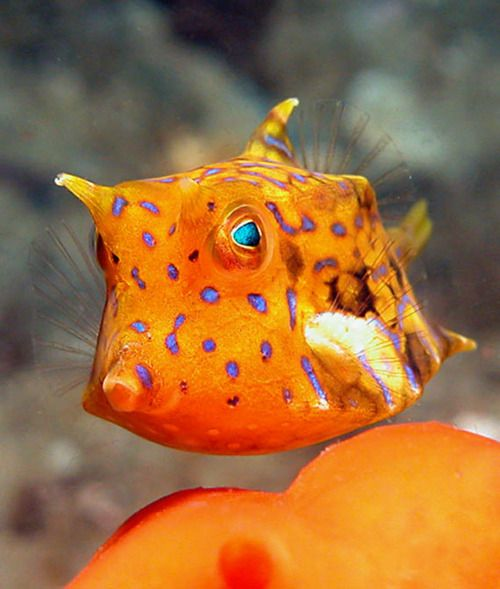 SHORT SPINED COWFISH (Lactoria fornasini) ©Dave Harasti  The common name is shortspined cowfish, They are found in coral reefs in the Atlantic, Indian and Pacific Oceans.