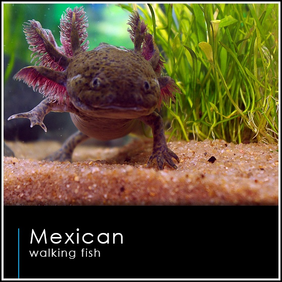 17 best images about axolotl on pinterest mudkip lakes for Water lizard fish
