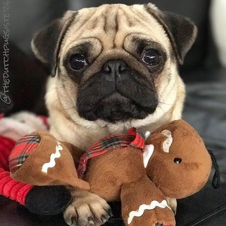 What do you mean Christmas is over? Photo by @thedutchpugsisters Want to be featured on our Instagram? Tag your photos with #thepugdiary for your chance to be featured.