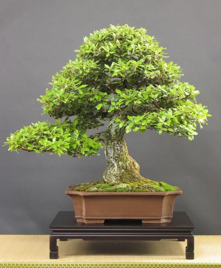 867 besten bonsai bilder auf pinterest bonsai pflanzen und baumgarten. Black Bedroom Furniture Sets. Home Design Ideas