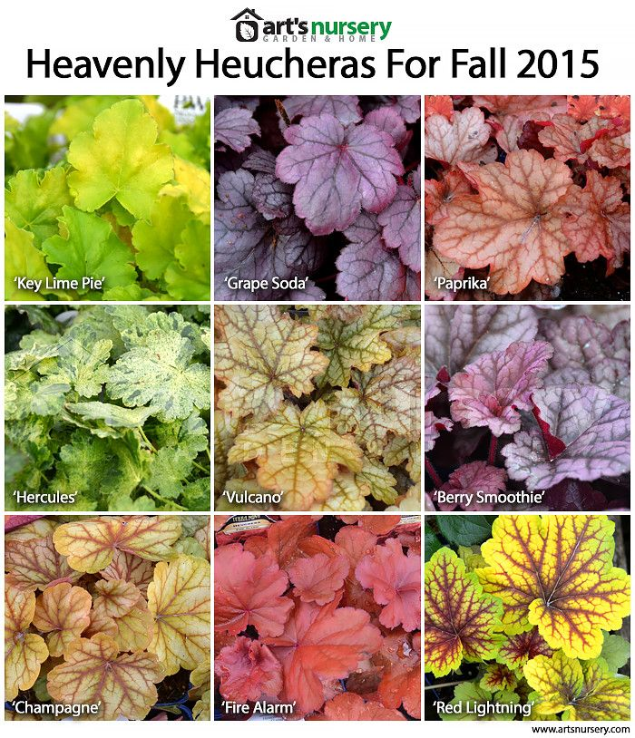 Massive fan of Heuchera plants. They come in so many colours!