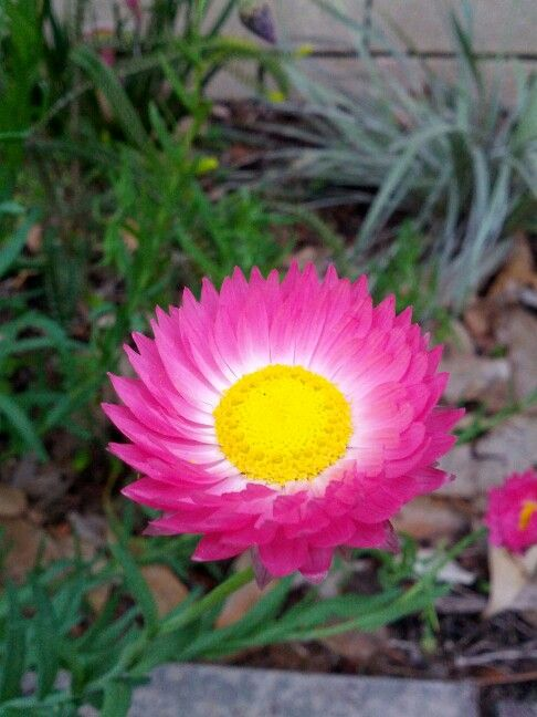 Pink Everlasting aka Paper Daisy (Rhodanthe chlorocephala subsp. Rosea) - native to Western Australia, an annual that can be displayed in mass planting, the pink and yellow seems to glow bright in the sunlight
