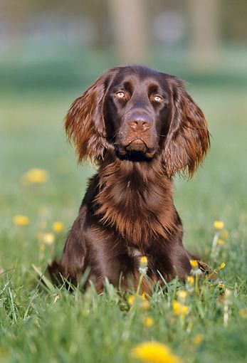 German Long-haired Pointer Puppy Dog [Chien d'arret ...