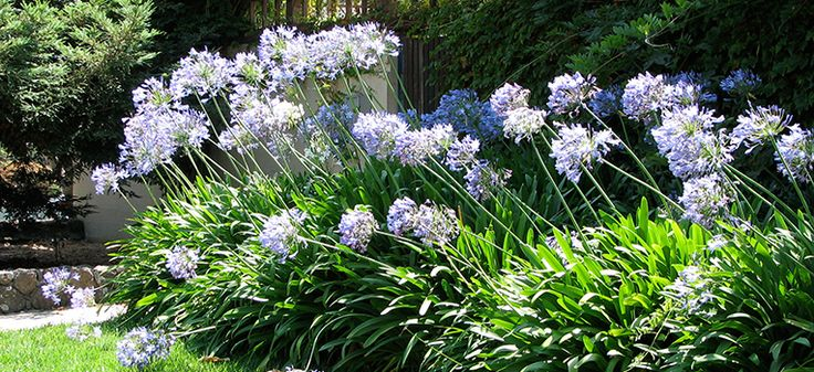 Agapanthus is the flower of summer and its tall blue, mauve or white heads grace gardens across Sydney. Agapanthus (Agapanthus praecox subsp. oriental