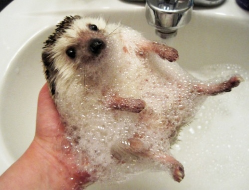 Why did the hedgehog need a bath? #abcdoes #talkmatters