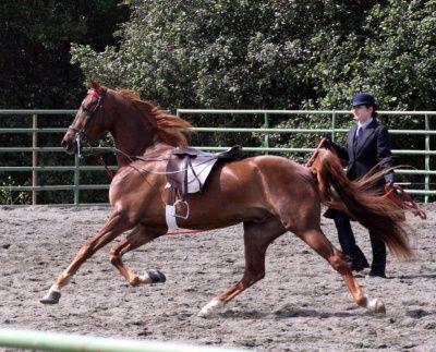 American Saddlebred | American Saddlebred - The Pet Wiki