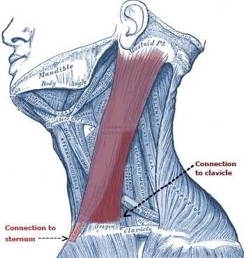 Sternocleidomastoid Muscles: Affects Head, Eyes, Sinus, Ears, Throat, Pain, Dizziness, Whiplash - The Wellness Digest