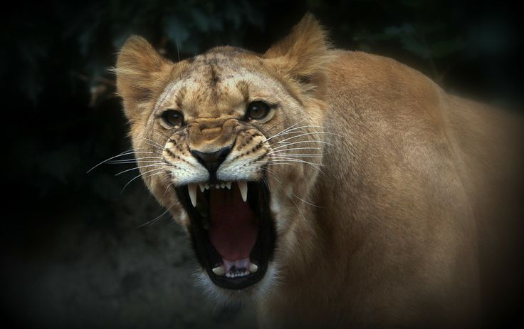 angry lioness. by Frank Vroom on 500px | Large Cats ...