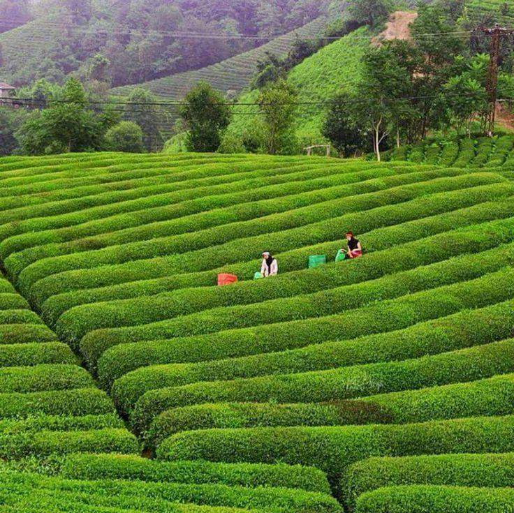 Tea fields → Rize ⛵ Eastern Blacksea Region of Turkey ⚓ Östliche…