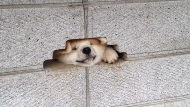 Cute dog gets stuck in a wall- and doesn't seem to care.