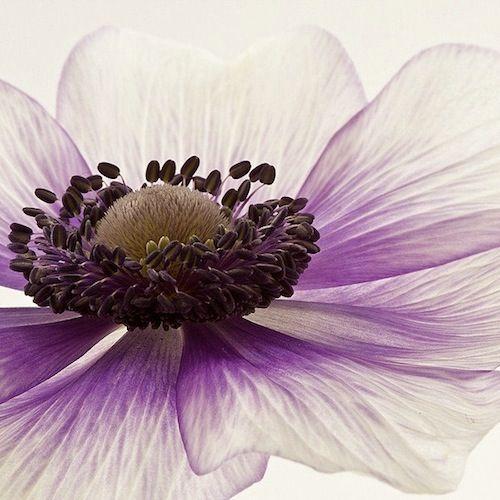 Delicate anemone.