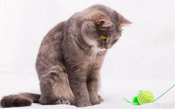 Download wallpapers British shorthair cat, gray cat, cute animals, kitten