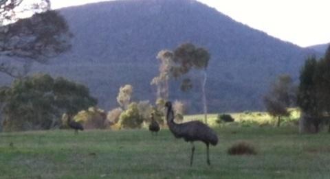 Emus in the top paddock