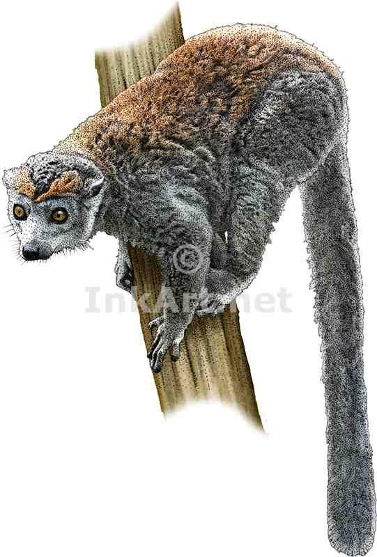 Full color illustration of a Crowned Lemur (Eulemur coronatus)