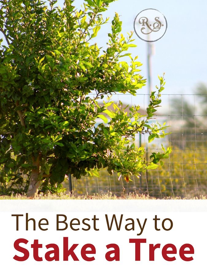 The Best Way To Stake A Tree Citrus Trees Chickens Backyard