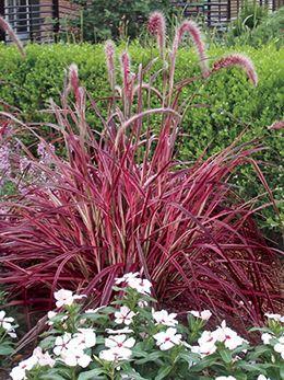 Fireworks fountain grass full sun gardening pinterest for Short ornamental grasses full sun