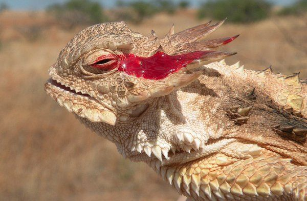 The horned lizard shoots blood out of its eyes as a defence against predators.