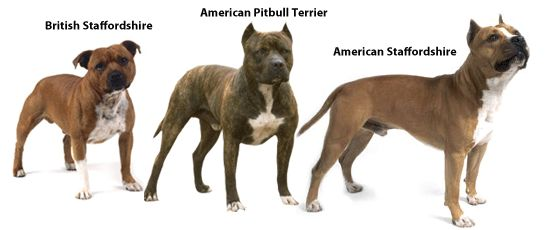 "A handy comparison. All of these dogs (and American Bulldogs) get called ""pit bulls"""