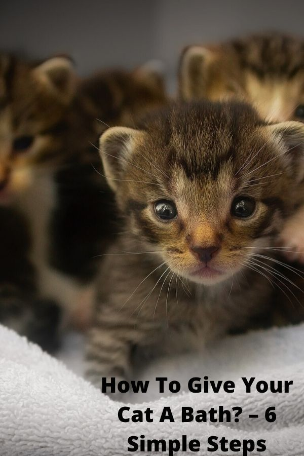 How To Give Your Cat A Bath 6 Simple Steps In 2020 Cat Has Fleas Cats Senior Cat Care