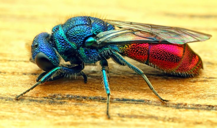 """http://jjsphotographicblog""""It's a ruby-tailed wasp. Ruby-tailed wasps belong to the order Hymenoptera, that includes sawflies, bees and wasps. Here in the U.K. we have a number of species that are difficult to tell apart with any degree of certainty. They are all are beautifully coloured, red, blue, green and bronze metallic colours. Their abdomens are usually a ruby red colour which gives the wasps their name 'ruby-tail'. These wasps are solitary meaning they do not live in large social…"""