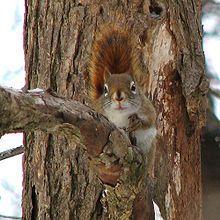 northern michigan red squirls - Google Search